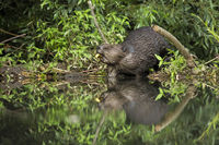Eurasian beaver gnawing a branch and feeding on a riverside