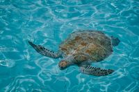 Sea turtle in the Curacao island with clear water from above