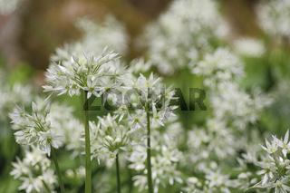 Bärlauch (Allium ursinum), Deutschland, Europa