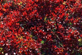 Salix herbacea, Krautweide, Dwarf Willow