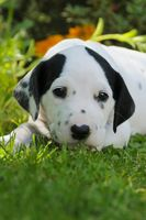 Dalmatian puppy, five weeks old, portrait