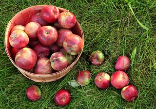 Overhead shot of a basket of freshly picked apples