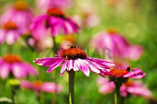 Echinacea-Garten