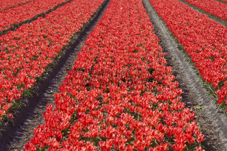 Red Tulip Fields, Netherlands