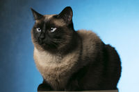 Siamese cat on a blue background. Beautiful animal.