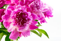 Pink peony flowers close-up.