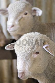 Portrait sheep lamb