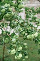 Blooming green hydrangea bush close up