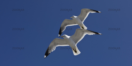 Two synchronous flying gulls (Larus canus) with recognizable hand wing pattern, Germany, Europe