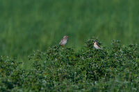 Whinchat and Corn bunting