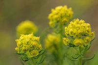 Zypressen-Wolfsmilch_Euphorbia cyparissias