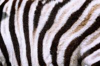 Fur of a Plains Zebra. Etosha NP, Namibia