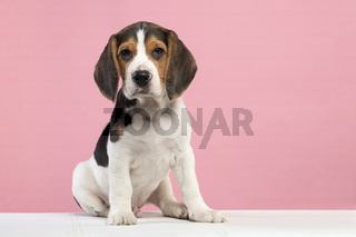 Cute sitting beagle puppy looking at the camera on a pink background