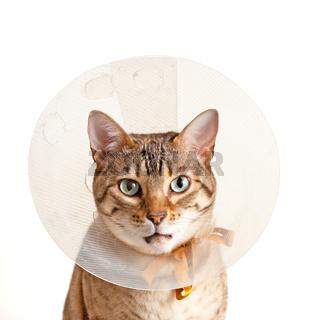 Bengal kitten with neck collar
