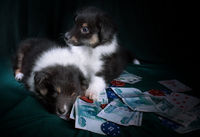 Puppies with cards, casino counters, on denominati