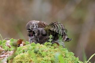 young Eurasian pygmy owl  is fed Swabian Jura Germany