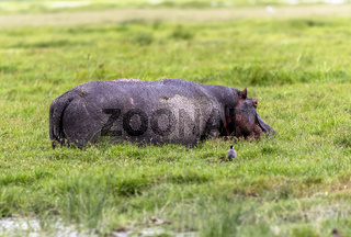 Hippo in Amboseli National Park, Kenya, Africa
