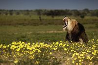 Dominant Kalahari Lion in between flowers