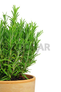 Rosmarin freigestellt - Rosemary isolated 02