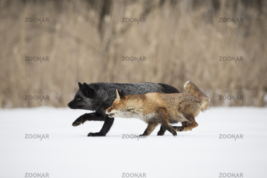 red fox and silver fox