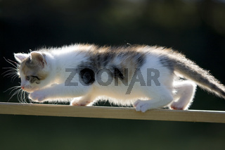 Katze/Kaetzchen auf Holzbrett im Gegenlicht, Cat, kitten on plank in back light