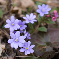 Hepatica (liverleaf or liverwort)