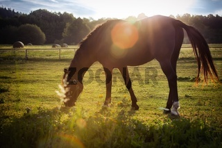 Portrait of a horse grazing in the sun backlighting