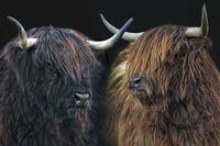 scottish highland cattle 9