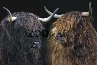 schottische Hochlandrinder 9