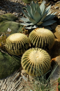 Echinocactus grusonii, Goldkugelkaktus, golden barrel cactus