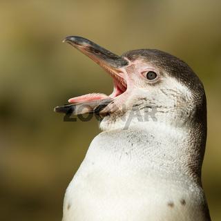 Close-up of a humboldt penguin