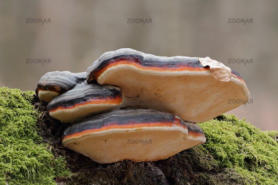 Red-banded polypore (Fomitopsis pinicola)