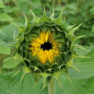Blütenkopf einer Sonnenblume