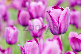 Lila Tulpen blühen im Frühling