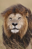 Dominant male lion, Masai Mara, Kenya.