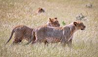 lionesses, Etosha National Park, Namibia, (Panthera leo)