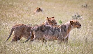 Löwinnen, Etosha-Nationalpark, Namibia, (Panthera leo) | lioness, Etosha National Park, Namibia, (Panthera leo)