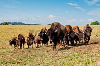 Kleine Herde junger Bisonbullen
