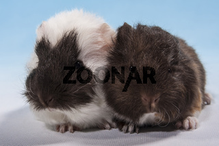 zwei Meerschweinchen Babies
