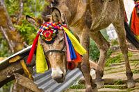 Carrying Mules Caravan, Annapurna Conservation Area, Himalaya, Nepal