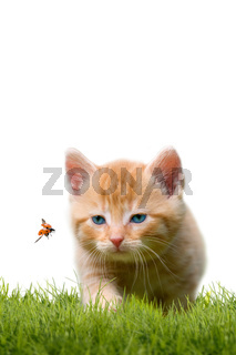 Young cat with ladybug on a green field