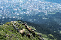 Sheep flock on a mountain with a city