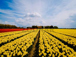 Tulip field in The Netherlands, colorful tulip fields in Flevoland Noordoostpolder Holland, Dutch Spring views
