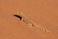 A shovel-snouted lizard (Meroles anchietae) on a sand dune