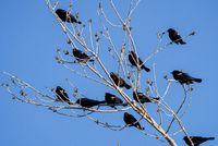 Blackbirds in Tree