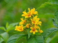 hypericum yellow flowers