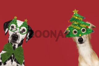 Portrait of a cute silken windsprite and dalmatian dog wearing christmas decoration on a red background with space for copy