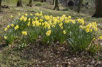 Blossom Daffodil, North Rhine-Westphalia, Germany, Europe