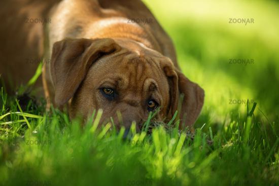Dog lying in a meadow