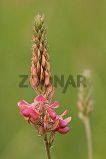 Wiesen-Esparsette (Onobrychis viciifolia)